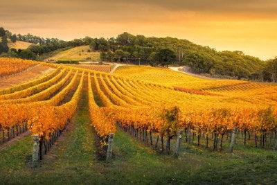 Vineyard in Adelaide Hills SA
