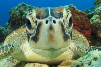Friendly Turtle in the Great Barrier Reef