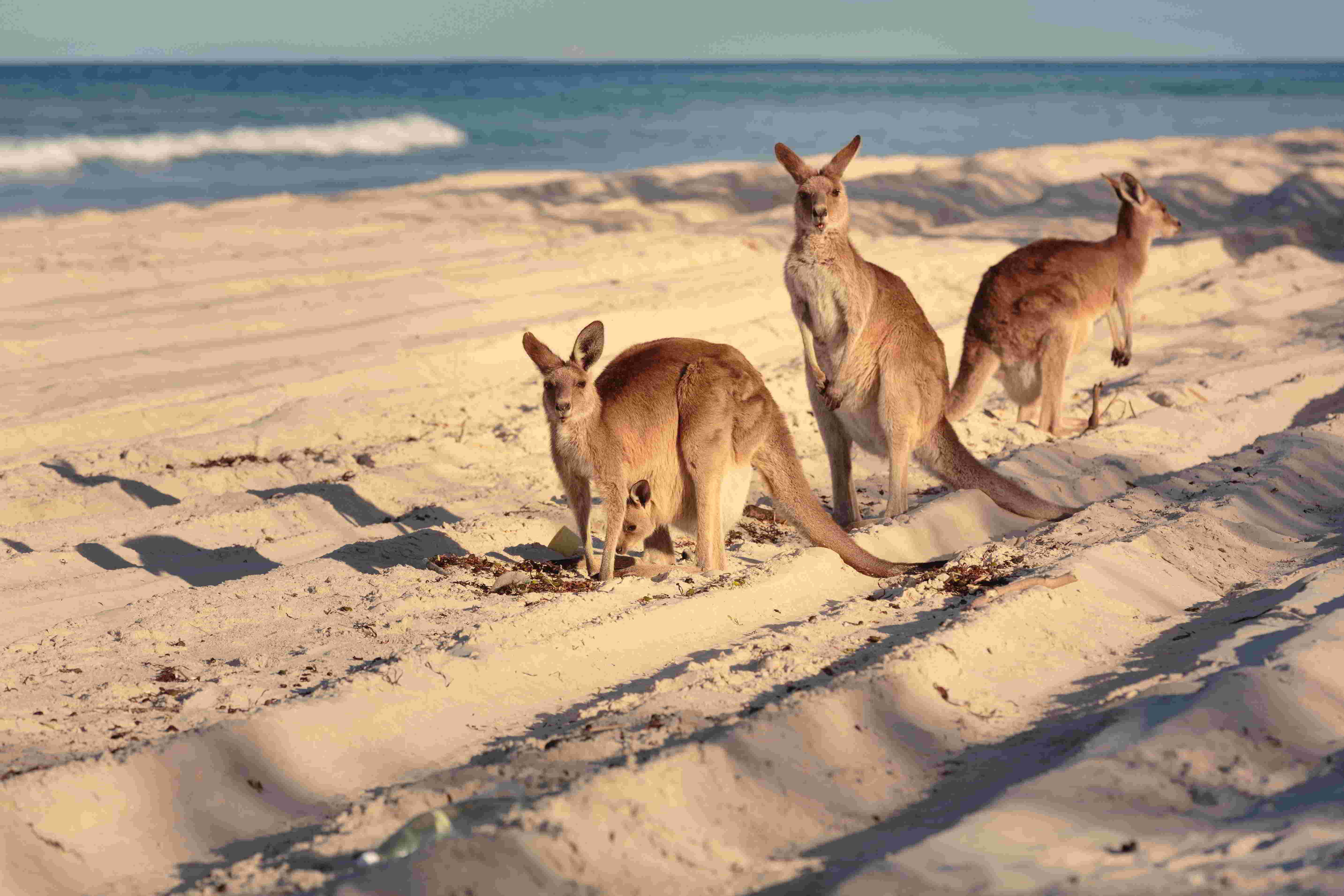 Kangaroos on the Beach, QLD