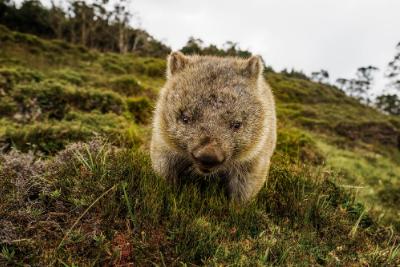 Wombat at Cradle Mountain TAS